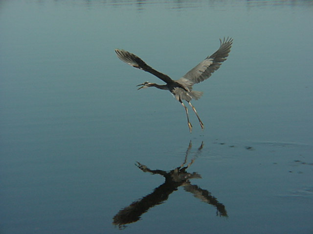heron in flight.JPG