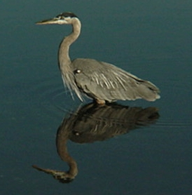 Heron Reflection.jpg