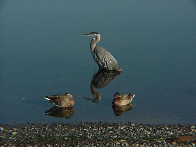 HeronTwoDucks.JPG