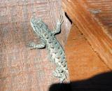 NM Lizard, Clayton, New Mexico