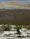 Goat on Podveležje plateau