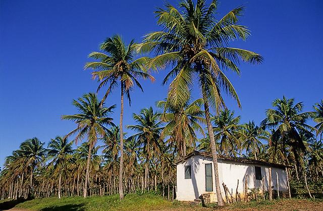 Plantação coco RN2.jpg