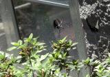 spicebush swallowtails duo 1