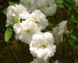 R. 'Kehr's White Rosebud'
