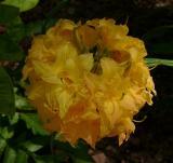 Girard's Yellow Pompom