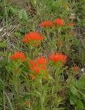 Castilleja coccinea (Indian Paintbrush), BRP 437.1 S