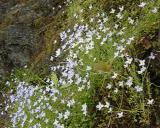 Houstonia caerulea (Bluets)