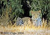 leopard-609.jpg