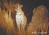 leopard-p1.jpg
