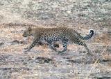 leopard-p6.jpg