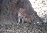 leopard-p18.jpg
