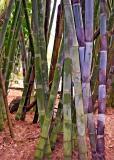 Bamboo - Summit Gardens - Panama 2