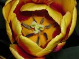 Red/Yellow Tulip Center
