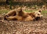 Bear (captive)