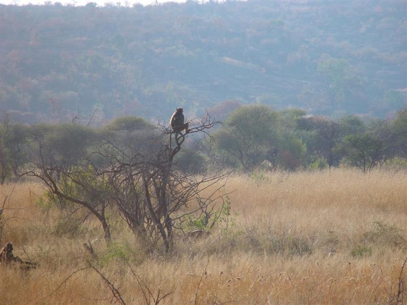 Pilanesberg Baboon