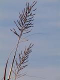 Seeds of Big Grass