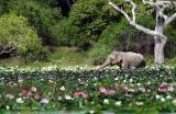 Elephant-and-lillies.jpg