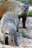 Mongoose3.jpg
