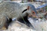 Mongoose digging.jpg
