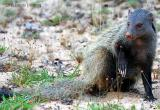 Mongoose have claws.jpg