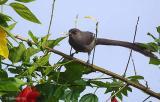 Long-tailed-Sibia.jpg