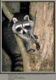 Raccoon ~ 2003