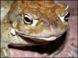 Desert Toad Closeup