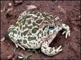 Plains Toad