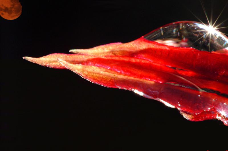 ampelopsis intersideral