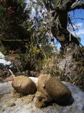 Wombat spoor