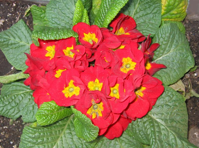 Red Primrose in Flower Box at DoJo Restaurant