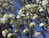 Pear Blossoms  LPG