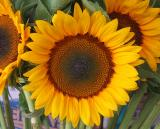 Helianthus or Sunflower