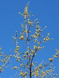 Budding Cornus Mas Dogwood Tree