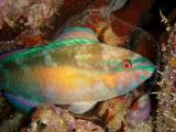 Princess Parrotfish Sleeping in Mucous Bubble