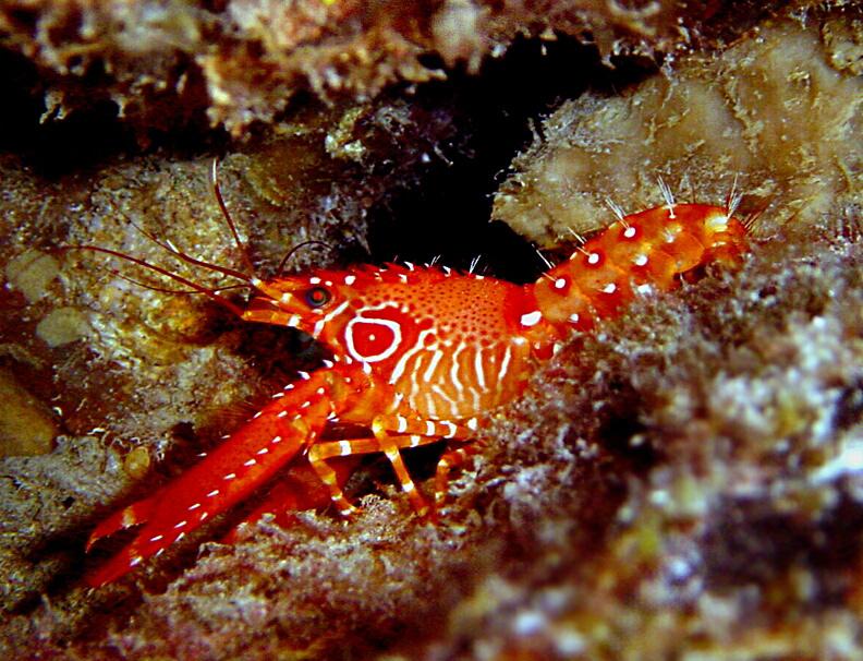 Flaming Reef Lobster