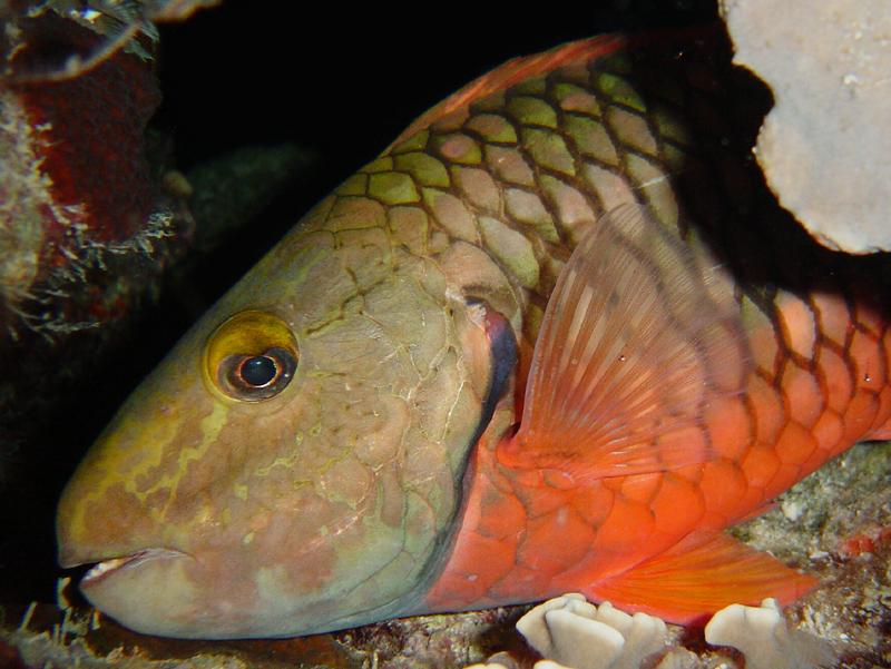 Another Stoplight Parrotfish