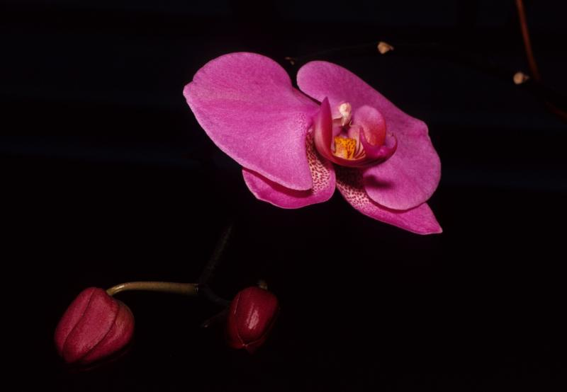 dancing orchid