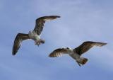 gulls_in_flight