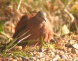 Ruddy Ground-Dove