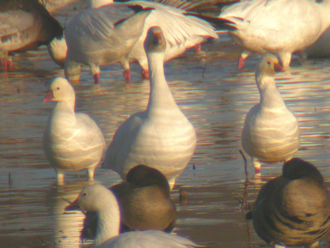 Rosss & Snow Geese