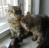 Siberian cats Cedi and Gordi in May 2002