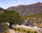 McKittrick Canyon Live Tree 8984