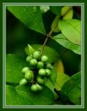 Green Berries After the Rain