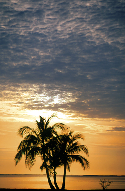 Silhouetted Palms, Florida