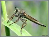 Flies (Robber)