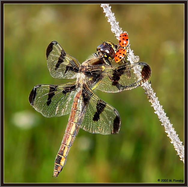 Dragonfly Eating a Ladybug