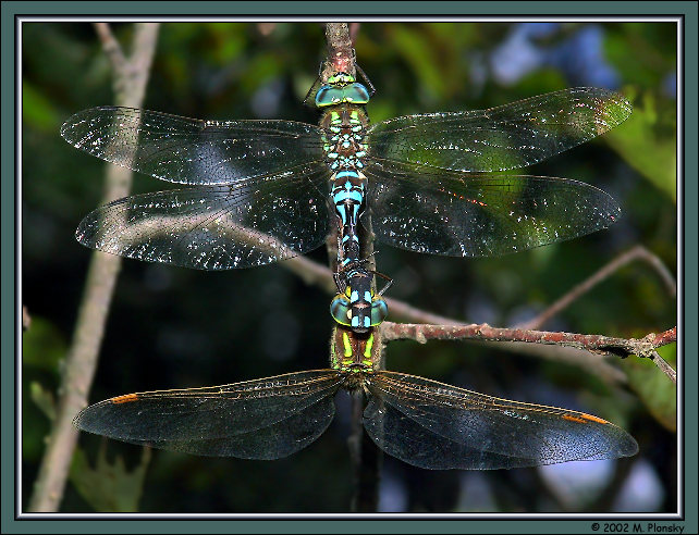 Green Darners Mating