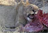 Tau - Lion cub on warthog kill