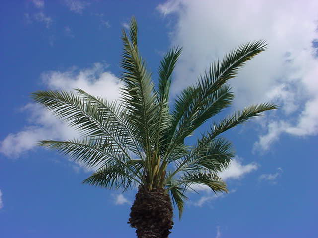 paradise palm<br>in paradise palms